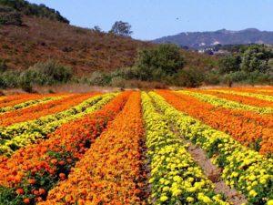 lompoc flowers