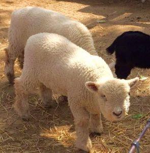 baby farm animals avila beach, ca
