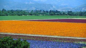lompoc flower field